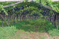 Vingård södra Tyrolean vinrutt, Italien Arkivfoto