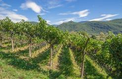 Vingård södra Tyrolean vinrutt, Italien Arkivbilder