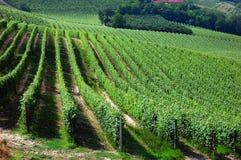 vingårdar Arkivfoto
