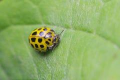 Vingt-deux taches Ladybird Photographie stock