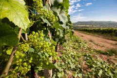 Vinha Chardonnay Fotografia de Stock Royalty Free