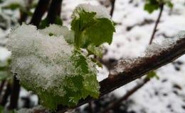 A vinha começa com a ruptura do botão após a chuva gelada Imagem de Stock