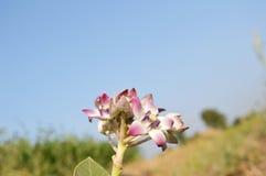 vinha crescente fresca com algumas folhas novas Fotos de Stock