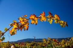 A vinha de arqueamento com vermelho e a laranja sae sob o céu azul foto de stock royalty free
