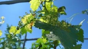 Vinha verde na luz solar contra o céu azul, movimento lento Videira com os racemes pequenos da uva que crescem na exploração agrí filme