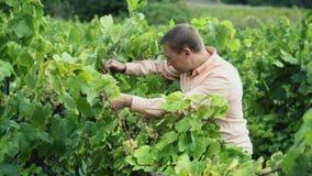 vinhandlare som kontrollerar vindruvan stock video