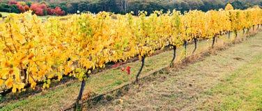 Vinhas amarelas no outono Fotografia de Stock Royalty Free
