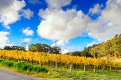 Vinhas amarelas no outono Foto de Stock Royalty Free