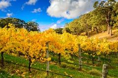 Vinhas amarelas no outono Imagens de Stock