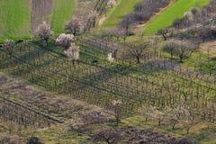 Vinhas e árvores da flor no campo Foto de Stock Royalty Free