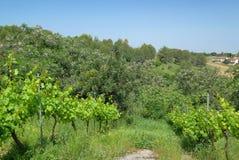Vinhas em Tulip Winery, Kfar Tikva, Israel imagem de stock