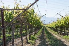 Vinhas na região vinícola de Califórnia do sul Fotografia de Stock