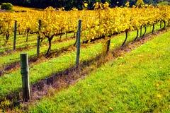 Vinhas no outono, Sul da Austrália Imagem de Stock Royalty Free