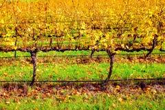 Vinhas no outono, Sul da Austrália Fotos de Stock