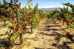 Vinhas, região vinícola de Temecula Fotos de Stock Royalty Free