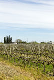 Vinhas uruguaias do vinho. Fotografia de Stock