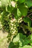 Vinhas verdes na vinha foto de stock royalty free
