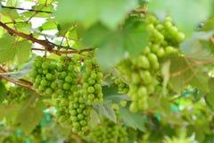 Vinhedo, adega, uva, verde Fotografia de Stock Royalty Free