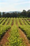 Vinhedo Califórnia do vinho Fotos de Stock Royalty Free