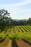 Vinhedo Califórnia do vinho Fotos de Stock
