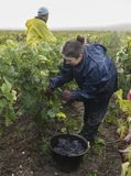 Vinhedo Campagne Verzernay das uvas do corte Fotos de Stock Royalty Free