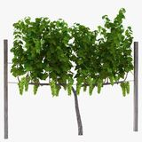 Vinhedo com as uvas maduras no branco ilustração 3D Fotos de Stock Royalty Free