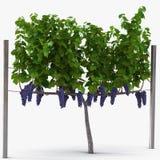 Vinhedo com as uvas maduras no branco ilustração 3D Foto de Stock