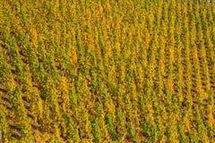 Vinhedo com as vinhas coloridas outonais fotografia de stock