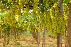 Vinhedo com colheita das uvas brancas na luz solar imagem de stock royalty free