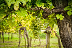 Vinhedo com uvas brancas foto de stock royalty free