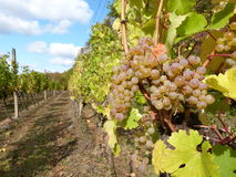 Vinhedo com uvas frescas Imagens de Stock