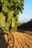 Vinhedo, crescimento das uvas, Palava Moravia sul, república checa Imagens de Stock Royalty Free