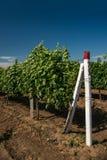 Vinhedo, cultivo da uva, videira foto de stock
