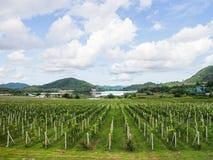 Vinhedo da região vinícola Imagem de Stock