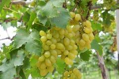 Vinhedo da uva para vinho que caracteriza uvas para vinho Fotografia de Stock Royalty Free