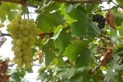 Vinhedo da uva para vinho que caracteriza uvas para vinho Imagem de Stock