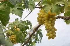 Vinhedo da uva para vinho que caracteriza uvas para vinho Imagens de Stock