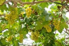 Vinhedo da uva para vinho que caracteriza uvas para vinho Fotografia de Stock