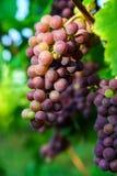 Vinhedo das uvas para vinho no por do sol, outono em França Imagens de Stock