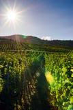 Vinhedo das uvas para vinho no por do sol, outono em França Fotografia de Stock