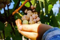 Vinhedo das uvas para vinho no por do sol, outono em França Imagem de Stock Royalty Free