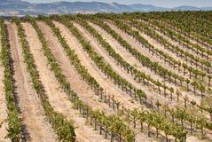 Vinhedo de Califórnia Imagem de Stock