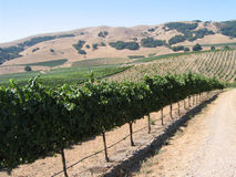 Vinhedo de Califórnia fotos de stock royalty free