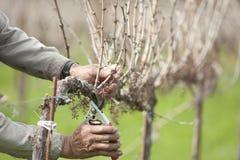 Vinhedo de poda da uva para vinho do trabalhador Imagem de Stock