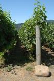 Vinhedo do blanc de Sauvignon imagens de stock