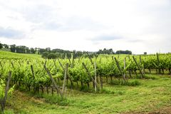 Vinhedo do Merlot e do Sangiovese no campo italiano Umbri imagem de stock