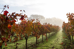 Vinhedo do outono na manhã fotos de stock royalty free