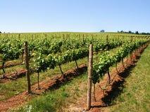 Vinhedo do vinho imagem de stock