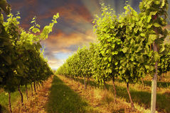 Vinhedo e por do sol Imagem de Stock Royalty Free