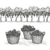 Vinhedo e ramos e uvas da violação na cesta ilustração do vetor